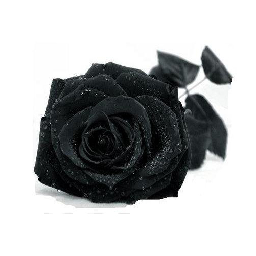 20BC-High-Quality-New-50pcs-Rose-Flower-Seeds-Gift-Garden-Plants-For-Your-Lover